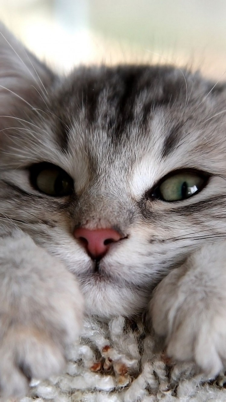 Cute Cats Hd Wallpapers For Iphone 6 Wallpapers Pictures