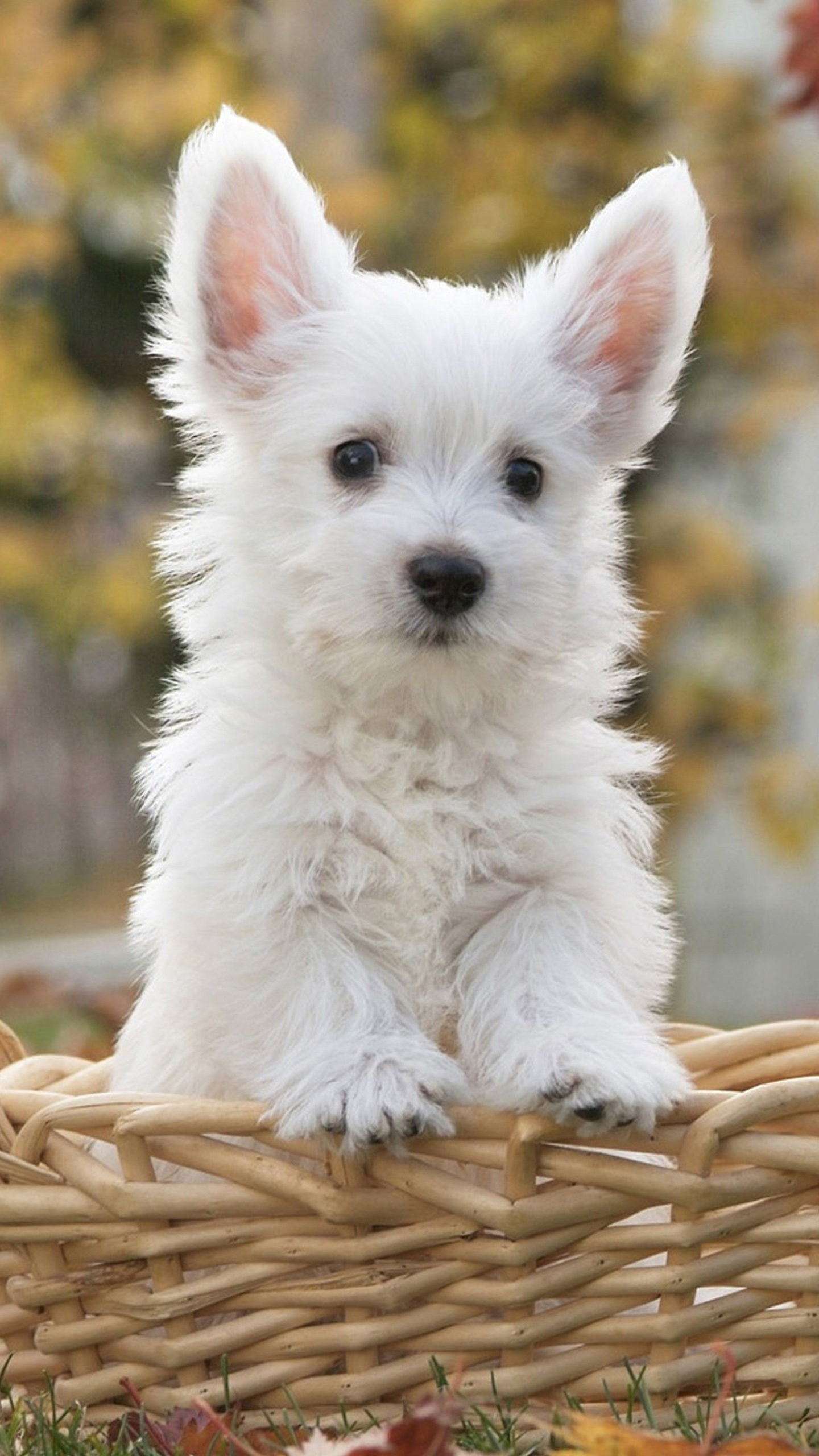 very cute white puppy wallpaper background